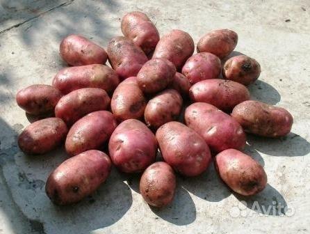 Голландская технология выращивания картофеля.  Что вам известно о.