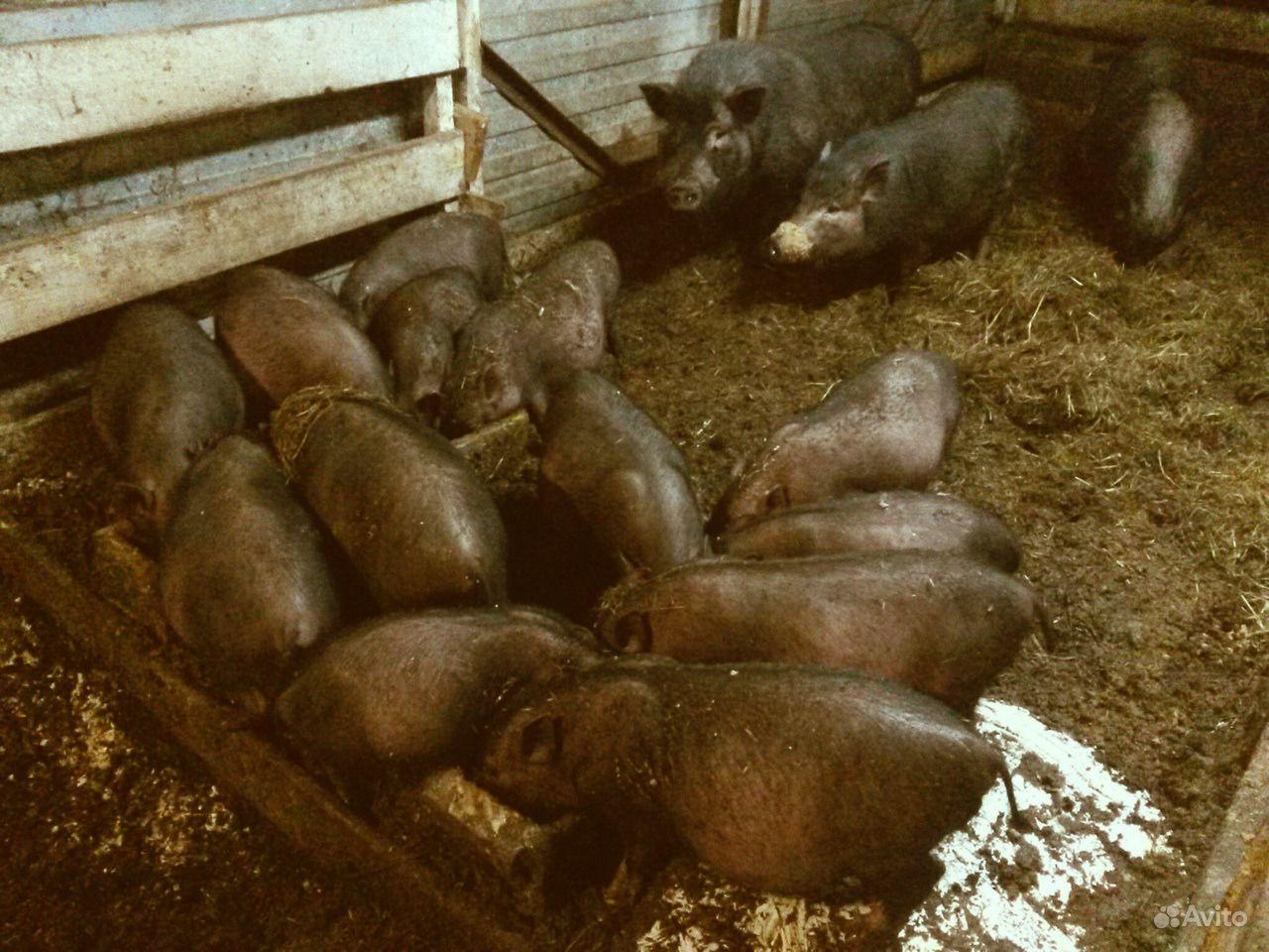 Вьетнамские вислобрюхие поросята и свиноматка