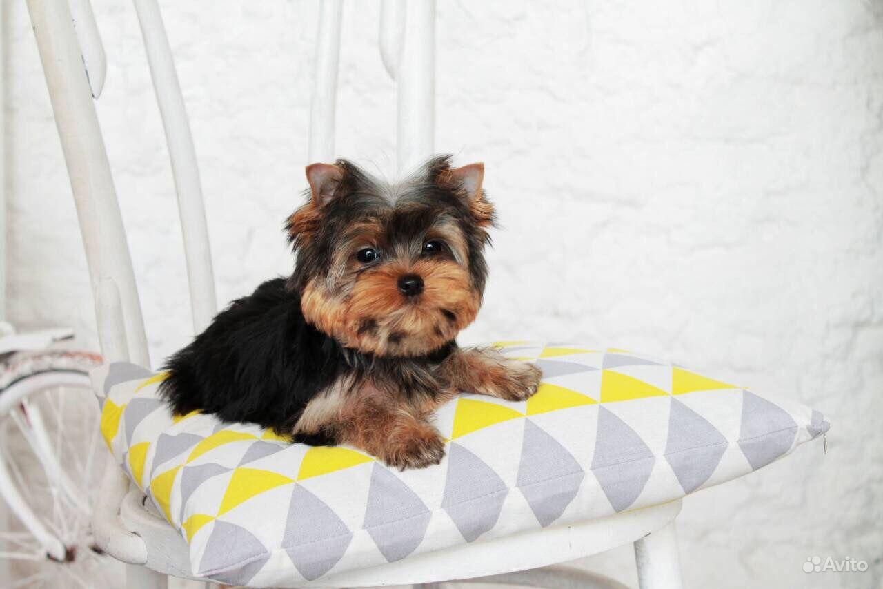 Йоркширский терьер -очень красивые щенки в Иваново - фотография № 5