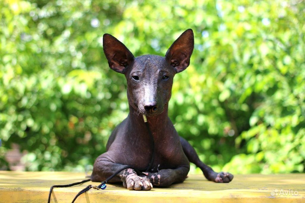 Вязка/Ксолоитцкуинтли/Мексиканская голая собака/от