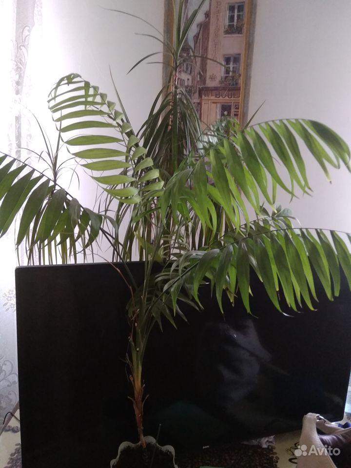 Фикус Бенджамина, пальмы, замиакулькас купить на Зозу.ру - фотография № 2