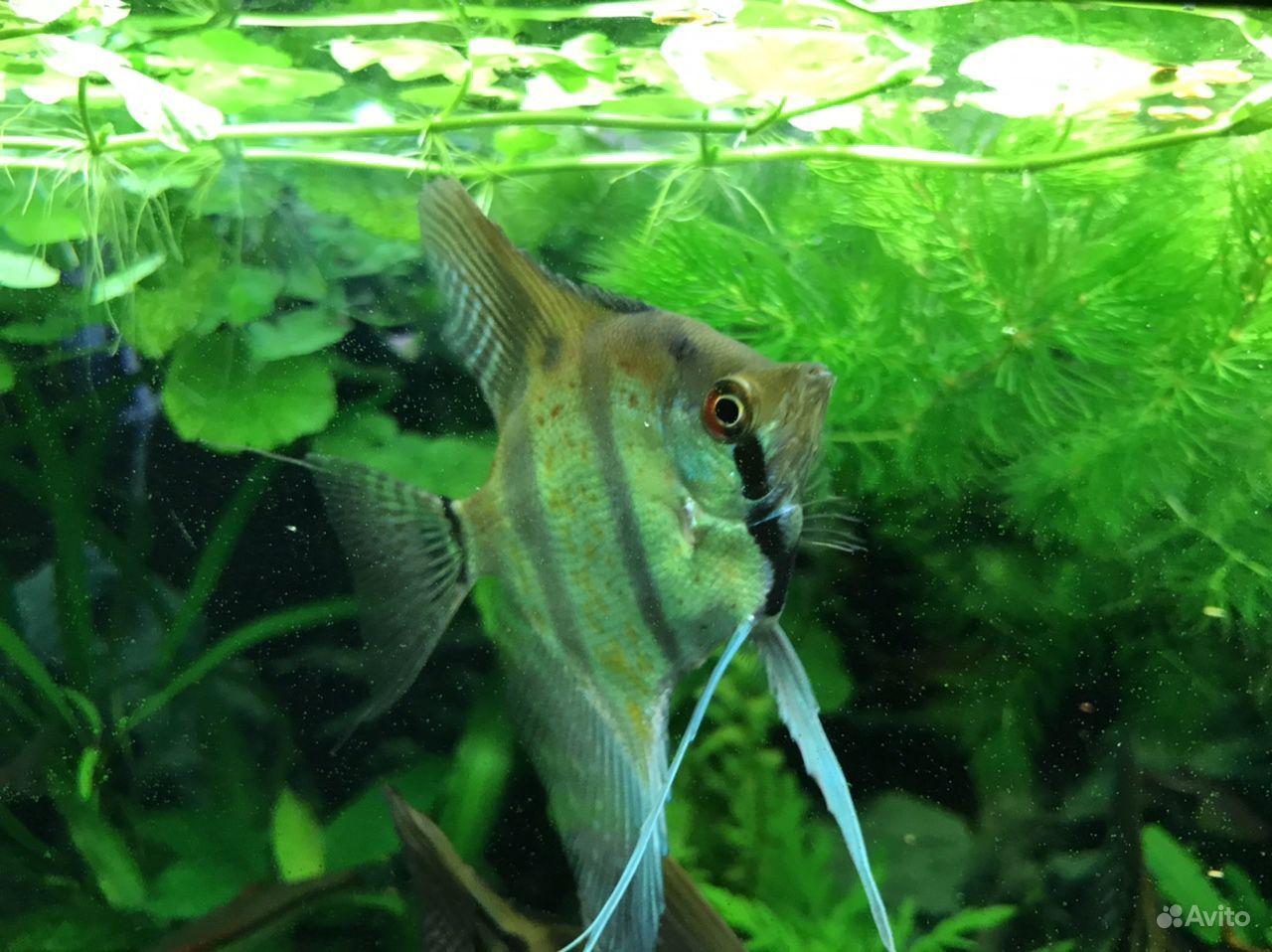 Аквариумные Рыбки -скалярия, Вид Рио-Нанай -Перуан купить на Зозу.ру - фотография № 9