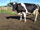 Корова ч/п, голштинская порода