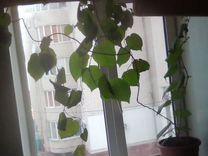 Киви с квартирой — Растения в Рязани