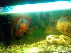 Рыба Астронотус медный