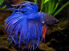 Аквариумная рыбка «Петушок коронохвостый»