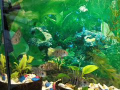 Рыбки Цихлиды Акара