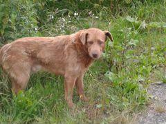 Найден рыжий пес в ногинском районе