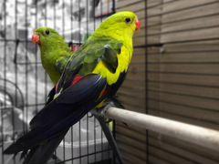 Роскошный горный попугай, пара