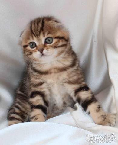 фото шотландских вислоухих котят мрамор на золоте