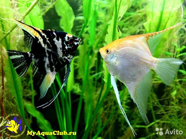 аквариумные рыбки фото с названием скалярий