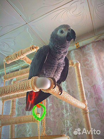 Звуки попугая жако