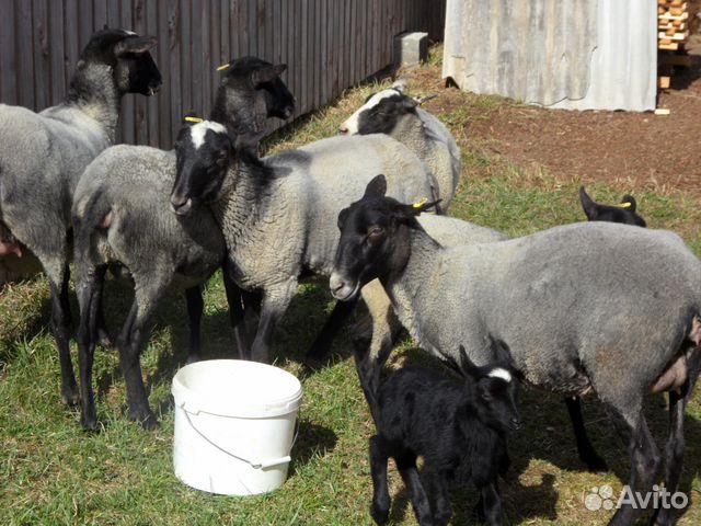 Овцы бараны 89605456826 купить 1