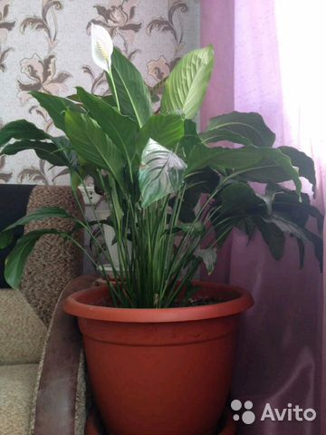 Spathiphyllum and other flowers 89620351266 buy 3