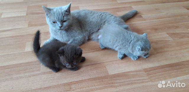 Британские котята 89234897013 купить 4