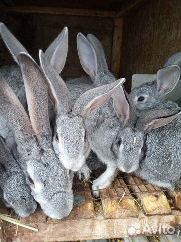 Племенные кролики 89065705365 купить 1