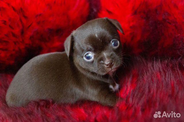 Гладкошёрстные щенки чихуахуа купить на Зозу.ру - фотография № 5