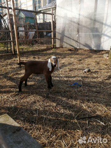 Кoзы и козлята англо-нубийские купить 5