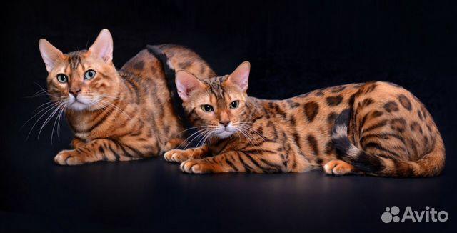Продается Бенгальский котенок (мальчик) купить 1