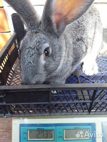 Кролики 89202417955 купить 8