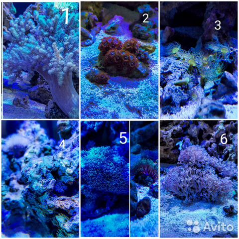Продам кораллы купить 1
