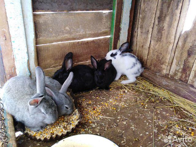 Кролик  89286029239 купить 2