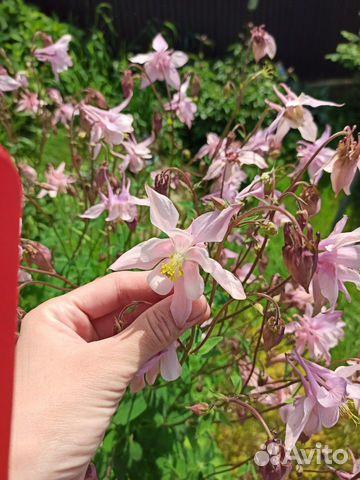 Многолетние цветы примула, почвопокровные, для гор  купить 8