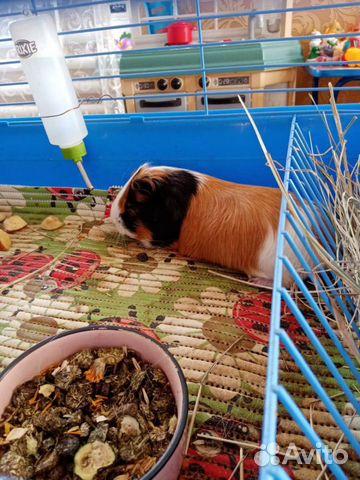Морские свинки  89833993580 купить 3