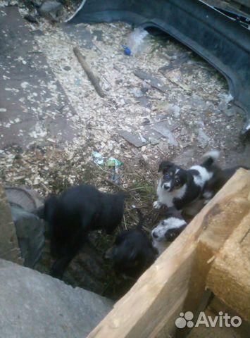 Собака  89990856249 купить 3