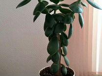 Толстянка. Денежное дерево. 60 см