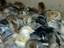 Цыплята 7 дневные