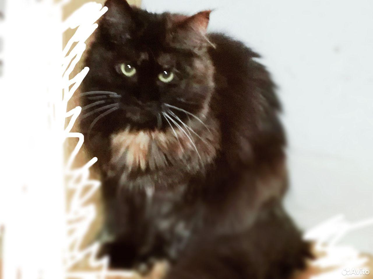 Кошка Мейн кун и бенгалы  89028915438 купить 2