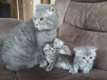 Кошки котята британские