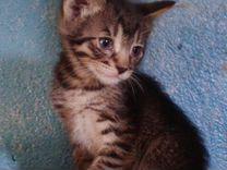 Полосатый короткошерстный мальчик 1,5 месяца