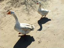 Пара гусей