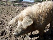Свиноматки венгерская мангалица