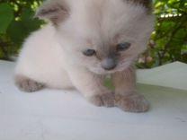 Британский котёнок колор пойнт