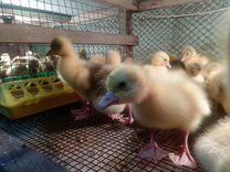 Цыплята Бройлер, Утята, Индоутята, Гусята, Муларды