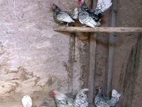 Цыплята.Сибрайт.Возраст 2 недели
