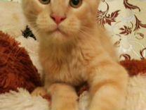 Продам ласковых котят породы мейн Кун