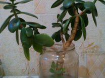 Растения-Денежное дерево.Приносит удачу