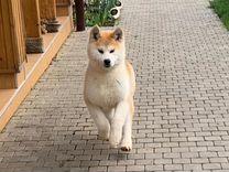 Акита(японская)